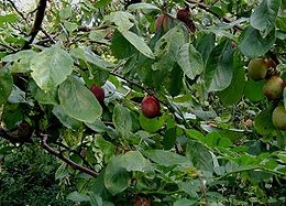 Szilva (<span>Prunus domestica</span> 'Besztercei Nm 122')