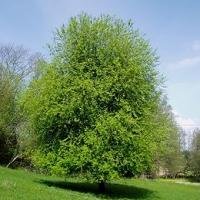 Zselnicemeggy (Prunus padus 'Watereri')