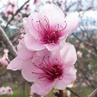 Őszibarack (Prunus persica 'Elberta')