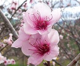 Őszibarack (<span>Prunus persica</span> 'Red June (kopaszbarack)')