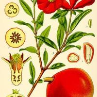 Gránátalma (Punica  granatum)