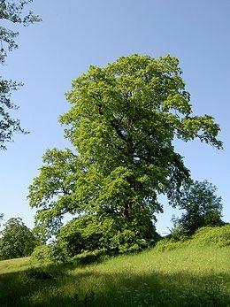 Csertölgy (<span>Quercus cerris</span>)