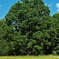 Tölgy (Quercus rubra)