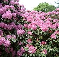Havasszépe (Rhododendron sp. 'Nova Zembla')