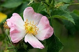 Rózsa (<span>Rosa sp.</span> 'Pearl Mirato')