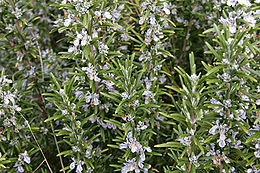 Rozmaring (<span>Rosmarinus  officinalis</span>)