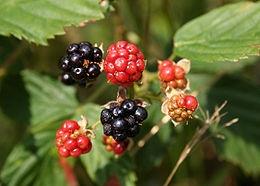 Szeder (<span>Rubus fruticosus</span> 'Dirksen')