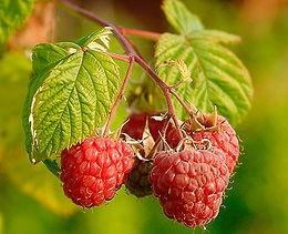 Málna (<span>Rubus ideaus</span> 'Lucana (Resa)')