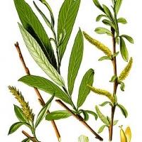 Fehér fűz (Salix alba 'Tristis')