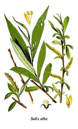Fehér fűz (<span>Salix alba</span> 'Tristis')