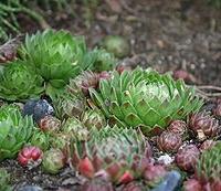 Kövirózsa (Sempervivum sp.)