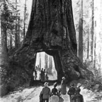 Hegyi mamutfenyő (Sequoiadendron gigantheum)