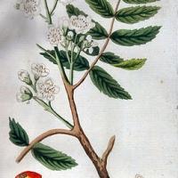 Berkenye (Sorbus x thuringiaca 'Fastigiata')