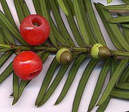 Közönséges tiszafa (<span>Taxus baccata</span>)