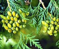 Nyugati tuja (Thuja occidentalis 'Europe Gold')