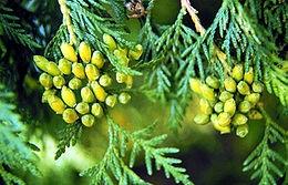 Nyugati tuja (<span>Thuja occidentalis</span> 'Europe Gold')