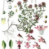 Kakukkfű (Thymus vulgaris)