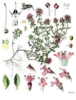 Kakukkfű (<span>Thymus vulgaris</span>)