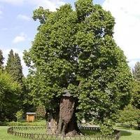 Kislevelű hárs (Tilia cordata 'Greenspire')
