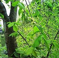 Hegyi szil (Ulmus glabra 'Pendula')