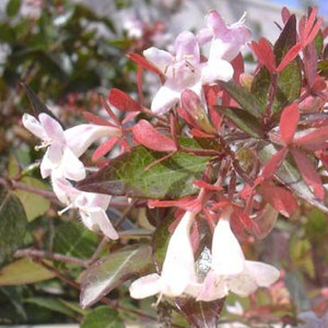 Nagyvirágú tárnicslonc (<span>Abelia x grandiflora</span>)