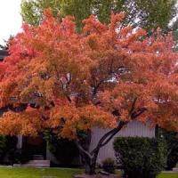 Mandzsu juhar (Acer ginnala)