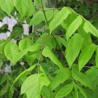 Zöld juhar (Acer negundo)