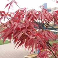 Vöröslevelű japán juhar (Acer palmatum 'Atropurpureum')