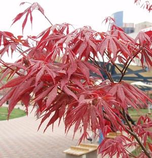 Vöröslevelű japán juhar (<span>Acer palmatum</span> 'Atropurpureum')