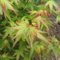 Japán juhar (Acer palmatum)