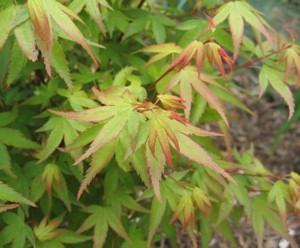 Japán juhar (<span>Acer palmatum</span>)