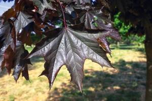 Vöröslevelű juhar (<span>Acer platanoides</span> 'Crimson King')
