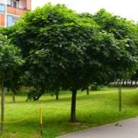 Gömb juhar (Acer platanoides 'Globosum')