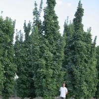 Oszlopos juhar (Acer platanoides 'Olmstedt')