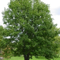Hegyi juhar (Acer pseudoplatanus)