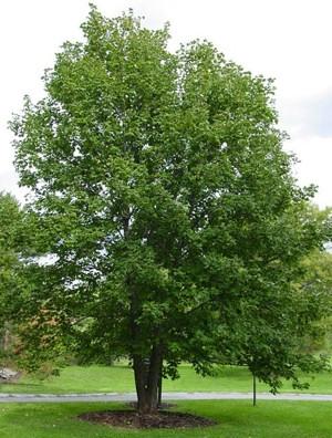 Hegyi juhar (<span>Acer pseudoplatanus</span>)