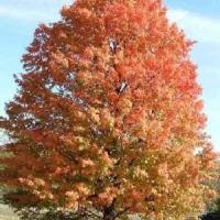 Ezüst juhar (Acer saccharinum)