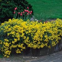Ternye (Alyssum saxatile, montanum)