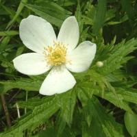 Szellőrózsa (Anemone sp.)