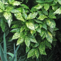 Tarkalevelű japán babérsom (Aucuba japonica 'Picturata')