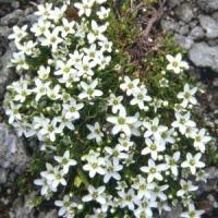 Homokhúr (Arenaria sp.)