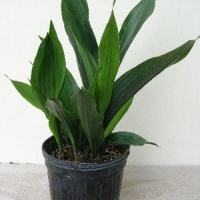 Kukoricalevél (Aspidistra sp.)