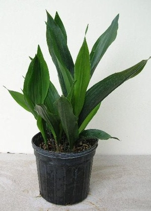 Kukoricalevél (<span>Aspidistra sp.</span>)