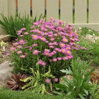 Havasi őszirózsa (Aster alpinus)