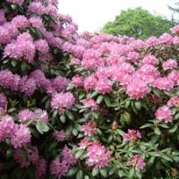 Rhododendron, havasszépe, azálea (Azalea sp.)