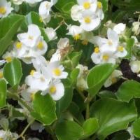 Begónia (Begonia sp.)