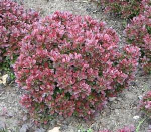 Japán borbolya (<span>Berberis thunbergii</span> 'Bagatelle')