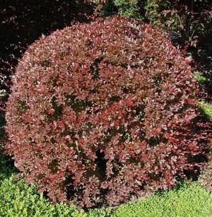 Japán borbolya (<span>Berberis thunbergii</span> 'Red Chief')