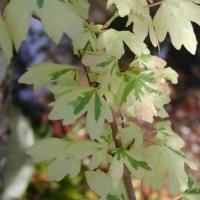 Mezei juhar (Acer campestre 'Carnival')