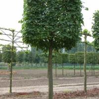 Mezei juhar (Acer campestre 'Elsrijk')